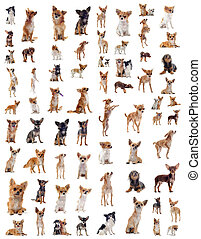 chihuahuas - portrait of a many purebred chihuahuas in front...