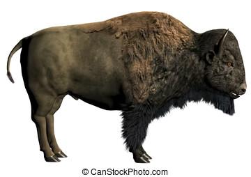 norteamericano, bisonte, /, búfalo