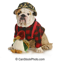 hunting dog - english bulldog dressed up like a hunter on...