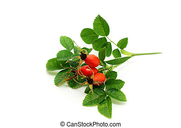 Rosa canina fruits - Rosa canina fresh fruits on white