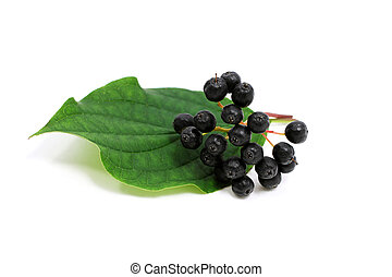 Sambucus nigra - black elder berries on white