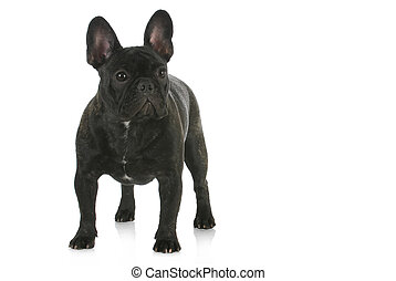 french bulldog standing with reflection on white background