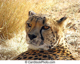 Cheetah at the Etosha Nationa Park, Namibia
