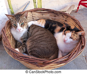 Two cats in a basket - Loving couple of cats in a basket