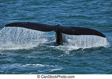 DRIPPIN TAIL - Southern Right whale fluking with a dripping...