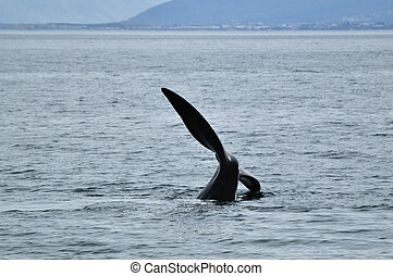 SOUTHERN TAIL - Pic of a Southern Right whale tail sailing...