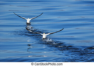 FLIGHT OF TWO - 2 Cape gannets taking of from the Atlantic...
