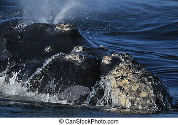 S R BLOW - A Southern Right whale exhaling its breath...