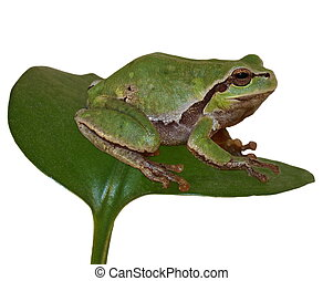 European tree frog, Hyla arborea - European tree frog on...