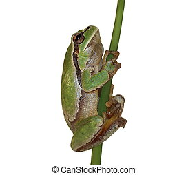 European tree frog, Hyla arborea - European tree frog...