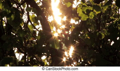 Light Thru Branches - Starburst sunlight shining through the...