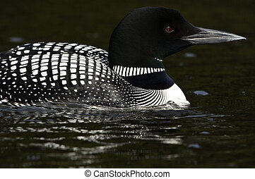 Close up of loon - Loon swimming by and having a close look...