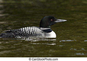 Loon keeping an eye on the lake for its mate