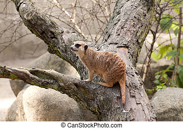 Meerkat sitting on a fallen tree