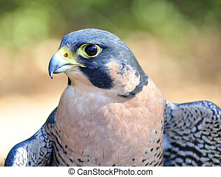 Peregrine Falcon , close up