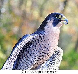 Peregrine Falcon , close up