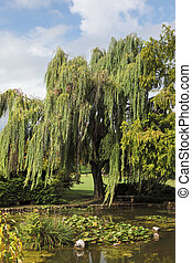 A weeping willows and lily - Enchantingly beautiful...
