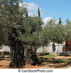 The monk in the Gethsemane garden - Jerusalem. The monk in...