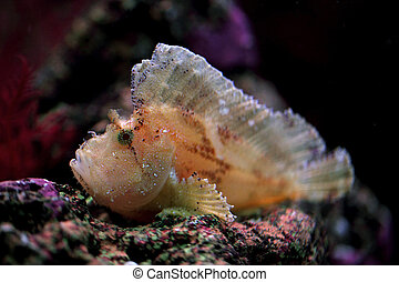 leaf scorpion fish - The color of this fish varies from...