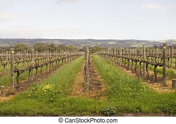 Winter Vineyards - Winter vineyards in mclaren vale, south...