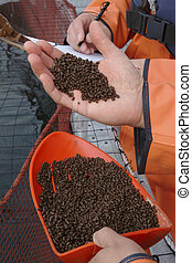 salmon feed - Aquaculture industry. Feeding salmon in...