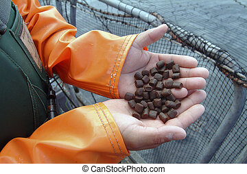 salmon feed - Aquaculture industry Feeding salmon in...