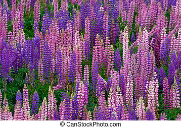 Lupin -Oxford Nova Scotia