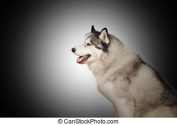 Siberian husky, a wolf-like dog in side view horizontal...