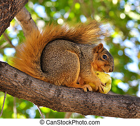 squirrel eating apple on the tree