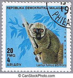 Lemur fulvus albifrons