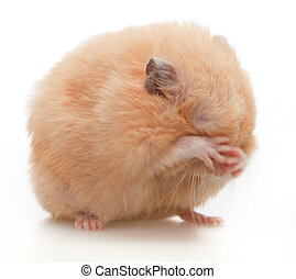 Hamster washes on white background