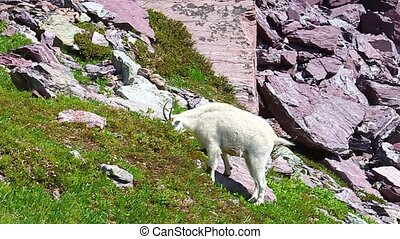Mountain Goat Oreamnos americanus browses on vegetation at...