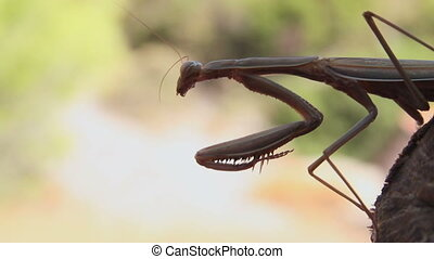 Praying mantis - Large brown praying mantis, Archimantis...