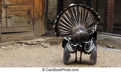 turkey dissolve feathers on tail and turned backwards in...