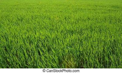 Grass - green grass background
