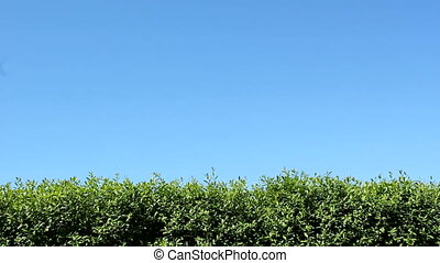 Hedge - Green hedge and blue sky