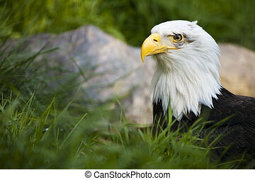 Bald Eagle - The Bald Eagle w intent look and natural...