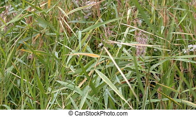 Grass in the field  - Sedge in the field in late summer