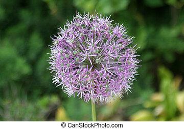 Allium flower in a garden