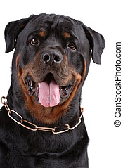 Rottweiler dog on white