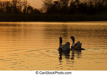 Ducks family swimming during the sunset - Two ducks and...