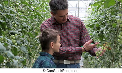 Tomato growers - Father and his son looking at tomatoes in...