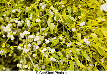 Mistletoe plant - Yellow-green mistletoe plant with berries...