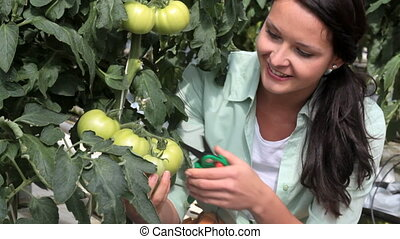 Harvest of tomatoes - Young woman cutting off a tomato in...