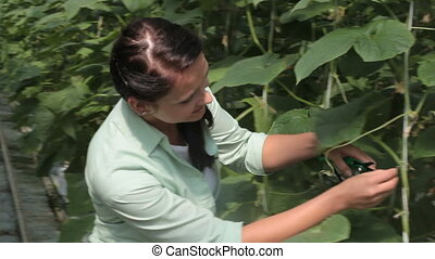 Farmer at work - Young woman taking care of tomato plant in...
