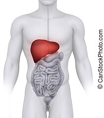 Male LIVER anatomy illustration on white