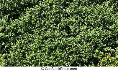 Hedge - Green Hedge background