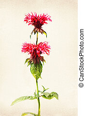 Watercolored bee balm - Illustration of watercolor bee balm...