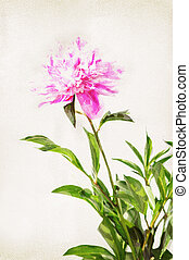 Watercolor peony - Illustration of watercolor peony on a...