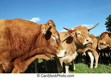 Dozing Limousin Bull Head Profile